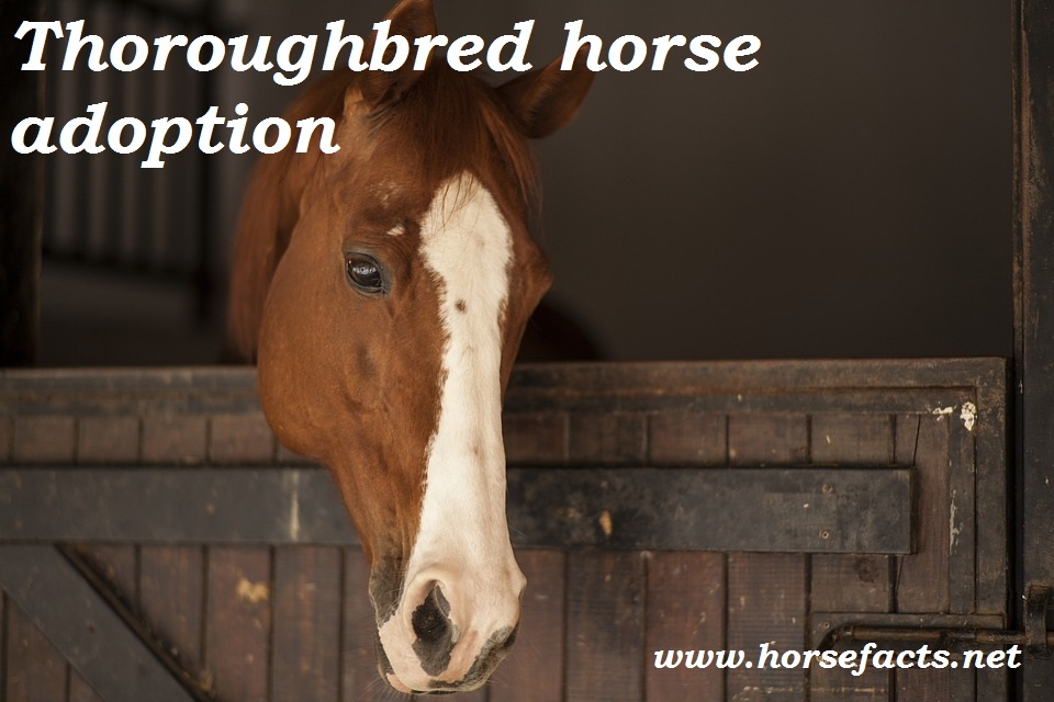 thoroughbred horse adoption