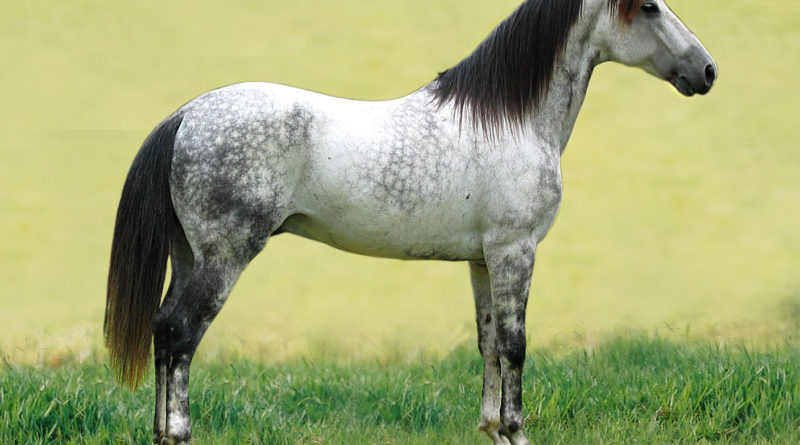 American horse breeds